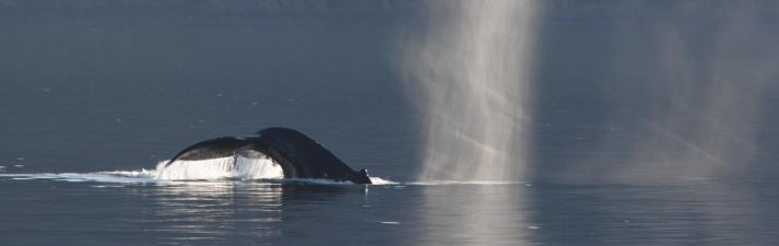 Humpback whale, Alaska.