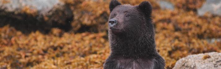 Brown bear cub, Alaska.