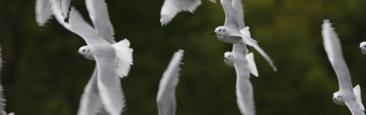 Bonaparte's gulls, Alaska.