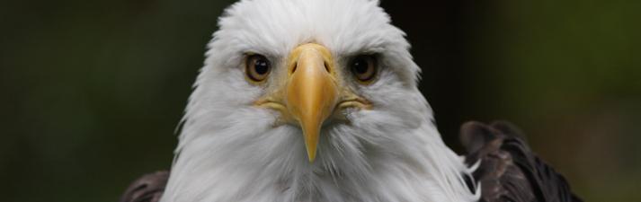 Bald eagle, Sitka, Alaska.
