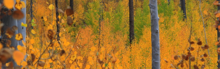 Golden aspens in autumn, Grand Canyon, North Rim.