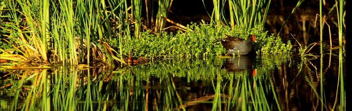 Common coot, Florida Everglades.