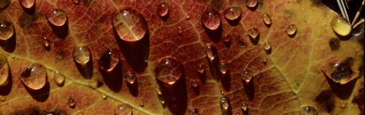 Morning dew on autumn leaf, Kankakee, Illinois.