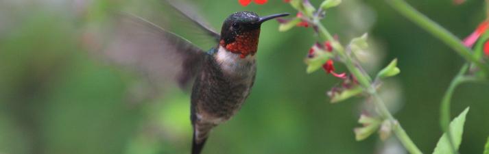Hummingbird hovers beside scarlet sage in Missouri garden.
